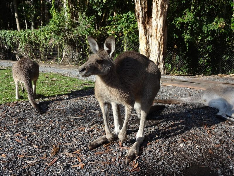 カンガルー (Currumbin Wildlife Sanctuary)