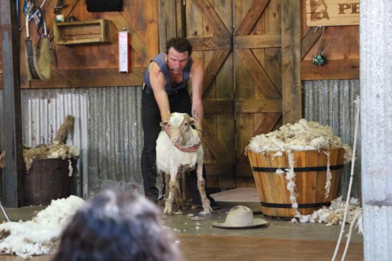 羊の毛刈り (Currumbin Wildlife Sanctuary)