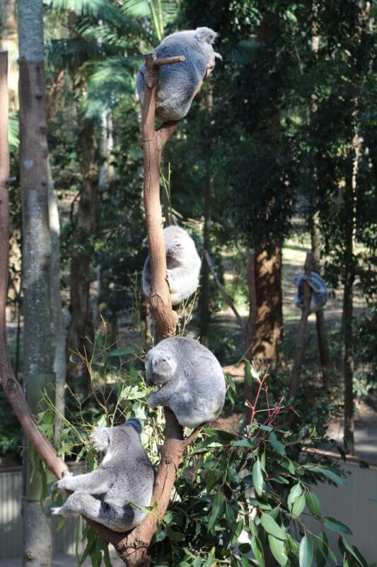 鈴なりのコアラ(Currumbin Wildlife Sanctuary)
