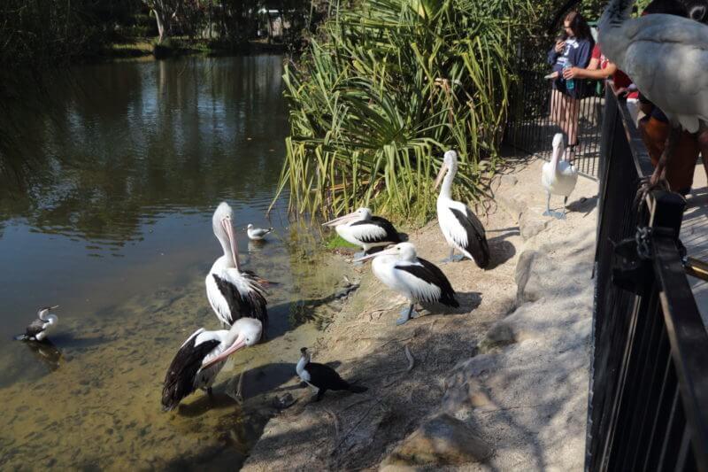 ペリカン (Currumbin Wildlife Sanctuary)